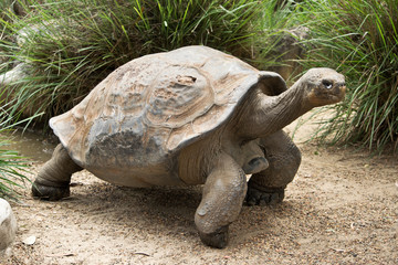 A  old galapagos tortoise in the zoo.