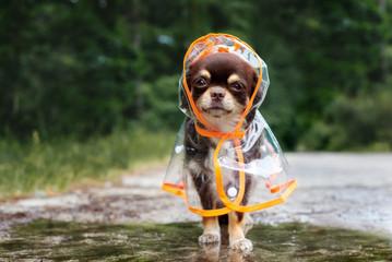 funny chihuahua dog posing in a rain coat, rainy day
