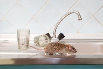 Zbliżenie młody szczur grasuje na zlew przy kuchnią na tle dwa faceted szkła (Rattus norvegicus). Walcz z gryzoniami w mieszkaniu. Eksterminacja.