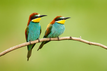 Pair of beautiful birds European Bee-eaters, Merops apiaster, sitting on the branch with green background. Two birds in Romania nature.