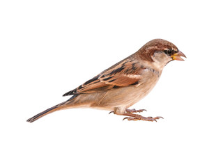 Italian Sparrow (Passer italiae), isolated, with white background