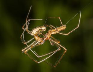 Garden spiders mating in a springtime garden