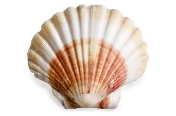 Muschel Weichtier Kammmuschel Bivalvia Pectinida Ozean Meer See Salzwasser Meeresbewohner Wassertier