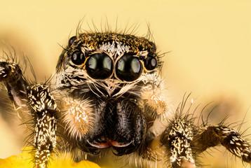 Jumping Spider, Zebra Back Spider, Spider, Salticus scenicus, Salticidae
