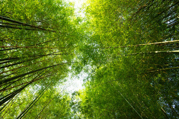 Bamboo forest or bamboo grove and sun light background