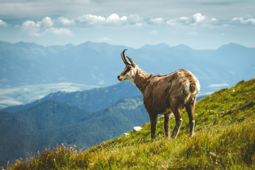 Tatra chamois on the hill