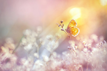 Golden butterfly glows in the sun at sunset, macro. Wild grass on a meadow in the summer in the rays of the golden sun. Romantic gentle artistic image of living wildlife.