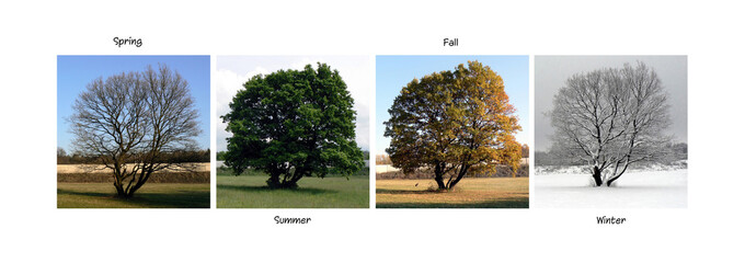 Beautiful tree caught in the four seasons. Collage.