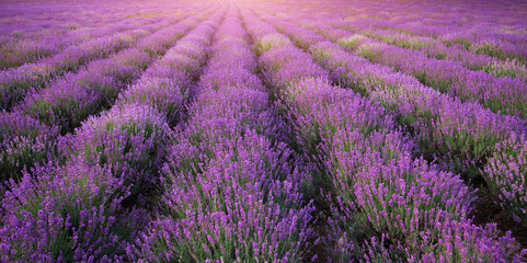 Meadow of lavender texture.