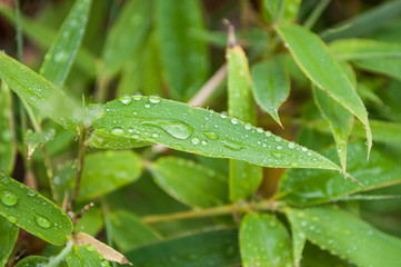 closeup of rain drops on bamboo leaves