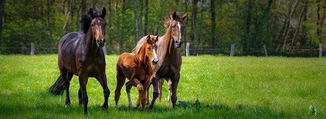 Hodowla koni - dwa konie i źrebak szaleją na zielonym wybiegu