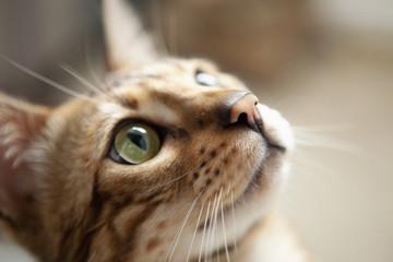 Cute bengal cat portrait