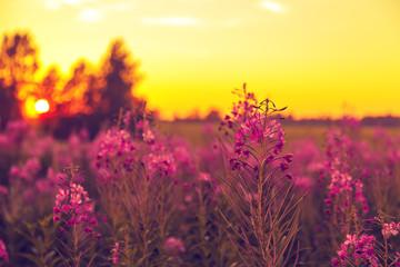 Purple field of blooming sally.