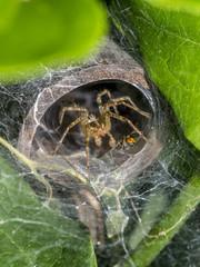 Tegenaria domestica, barn funnel weaver spider