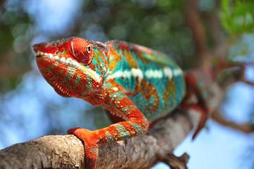 kameleon furcifer pardalis