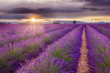 Vivid lavender field during picturesque sunset. Endless fields, typical sign of region. Amazing scent and view. Travel, holiday, vacation, relax, peace.