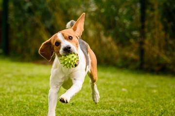 Beagle dog pet run and fun outdoor. Dog i garden in summer sunny day with ball having fun