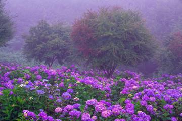 朝靄の紫陽花