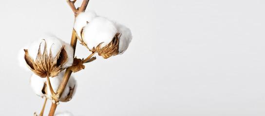 Gałęzi bawełny na białym tle. Delikatne białe bawełniane kwiaty. Jasne tło bawełny, leżał płasko.