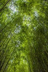 Forêt de bambous en France
