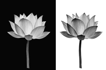 Lotus flower on black and white background