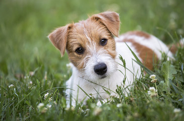 Happy Jack Russell terrier pet dog puppy looking in the grass