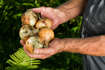 Organic vegetables. Fresh organic onions in the hands of farmers