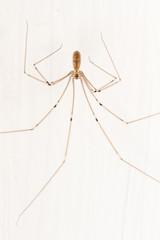 Pholcus phalangioides. Araña de patas largas.