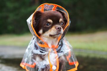 portrait of a chihuahua dog in a rain coat hood outdoors