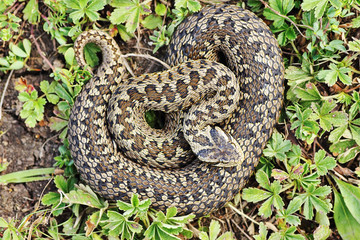 rare meadow viper in natural habitat
