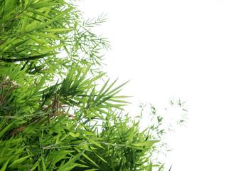 Bambusów liście odizolowywający na białym tle