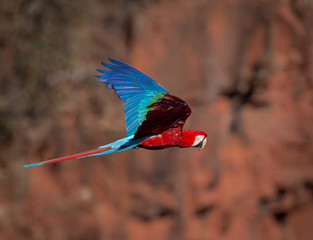 Portrait of red and green Macaw in the wild.CR2