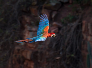 Red and Green Macaw of Brazil flying .