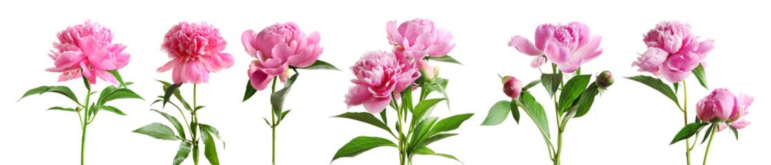 Set piękna peonia kwitnie na białym tle