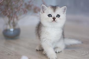 Scottish kitten posing Summer Photo