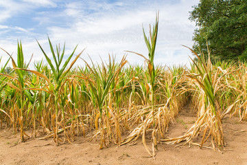 Agricultural damage drought in corn plants