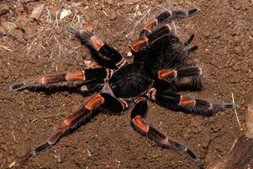 A costa rican red legged tarantula