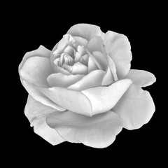 Monochrome fine art still life floral macro flower portrait image of a single isolated white rose blossom, black background,detailed texture,vintage painting style