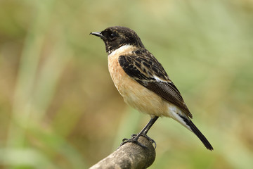 Male of Siberian or Asian stonechat (Saxicola maurus) chubby ine brown bird with black head perching on wooden stick over blur brown background in the field