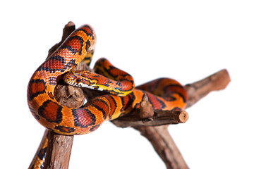 Corn snake isolated