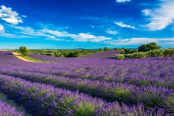 Champs de lavande en Haute-Provence