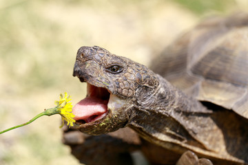 Captive adult male California Desert Tortoise eating Dandelion. San Rafael, Marin County, California, USA.