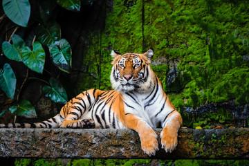 beautiful bengal tiger with lush green habitat background