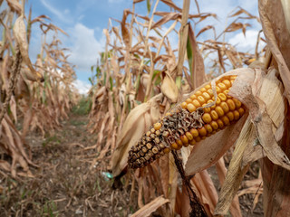 Ausgetrocknetes Maisfeld wegen fehlendem Regen
