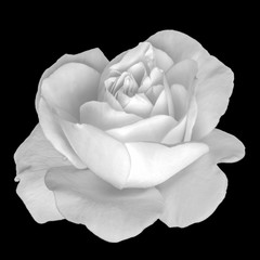 Monochrome isolated white rose blossom macro, black background,detailed texture,vintage painting style