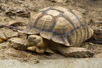 Turtle,Sulcata tortoise, African spurred tortoise (Geochelone sulcata)