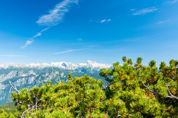 Slovenia mountains above the pine tree in foreground. Fresh pines with Slovenia mountain in Triglav national park.