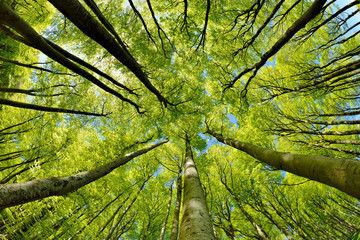 Beech Trees Forest in Early Spring, from below, fresh green leaves