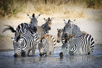 Herd of wild zebra drinking at water hole