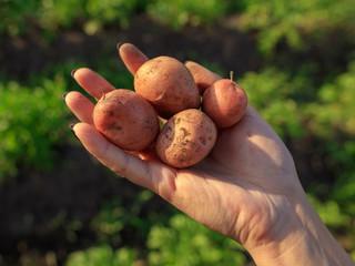 Fresh potatoes in hand in the garden